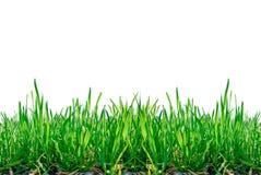 Stjälk av gräs som isoleras på vit bakgrund. Arkivfoto