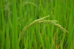 Stjälk av rice Arkivfoto
