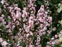 Stjälk av små rosa blommor arkivbild