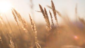 Stjälk av torrt gräs Royaltyfri Fotografi