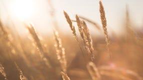 Stjälk av torrt gräs Arkivfoto