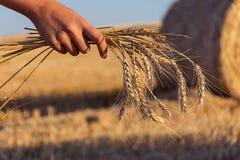 Stjälk av vete i soluppgång för fält för sugrörhöbal Royaltyfria Bilder