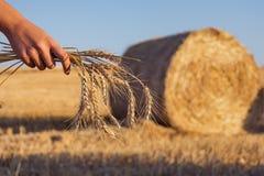 Stjälk av vete i soluppgång för fält för sugrörhöbal Royaltyfria Foton