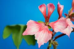 Stjärn- blomma för pelargonia arkivfoto
