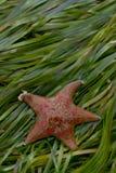Stjärna för rött slagträ i eelgrass Asterina miniata Royaltyfri Fotografi