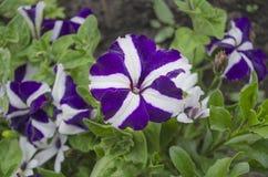 Stjärna formad purpurfärgad petunia i trädgård arkivfoto