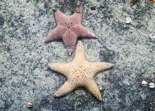 Stjärnafisk Arkivfoto