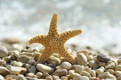 Stjärnafisk Fotografering för Bildbyråer
