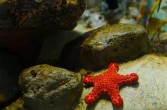 Stjärnafisk Arkivbild