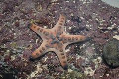 Stjärnafisk royaltyfria bilder