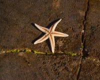 Stjärnafisk i solen royaltyfria bilder