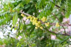 Stjärnakrusbär eller Phyllanthus acidus på träd royaltyfria foton