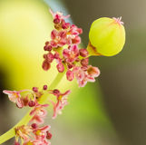 Stjärnakrusbärfors med rosa färgblommagruppen Royaltyfria Foton
