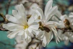 Stjärnamagnolian blomstrar på blå bakgrund Arkivfoto