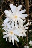 Stjärnamagnolian, magnolian Stellata, vit blomstrar i vår arkivbilder
