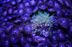 Stjärnapolyper Coral Surrounded vid Palythoas mjuk korall Arkivbilder