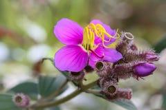 Stjärnklar Osbeckia blommablomning arkivfoton