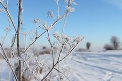 Stjälk av ett torrt gräs i rimfrost en bakgrund av den blåa himlen Arkivfoton