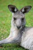 Östlicher grauer Känguru Stockfoto