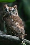 östlig owlscreech Royaltyfria Foton