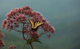 Östlig tigerSwallowtail fjäril Royaltyfri Fotografi