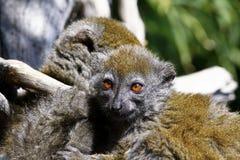Östligt lesser bambumaki (den Hapalemur griseusen) Arkivfoto