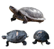 ställ in sköldpaddor Arkivbild