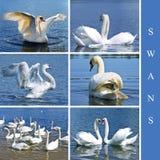 ställ in swans Royaltyfria Bilder