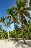 Ställning av att svänga palmträd Arkivbild