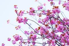 Stäng sig upp av att blomma den dubbla körsbärsröda blomningen och blå himmel Arkivbilder