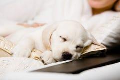 Stäng sig upp av att sova den labrador valpen på händerna av ägaren Royaltyfri Fotografi
