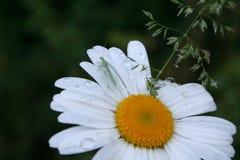 Stäng sig upp av en lacewing på en tusensköna efter regnduschar Royaltyfri Fotografi