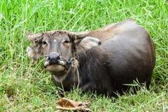 Stäng sig upp buffel i potrait på dammet och sätta in Royaltyfri Bild