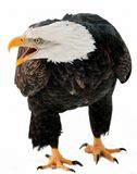 Stäng sig upp ståenden av en skallig örn med en öppen näbb. Arkivbilder