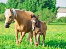 Sto för walesisk ponny med ängen för föl på våren Royaltyfri Bild