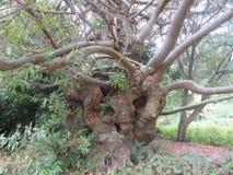 Sto i Czterdzieści roczniaka Drzewny Dziki migdał obrazy stock