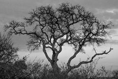 Stołowy Halny parka narodowego drzewo BW Zdjęcia Royalty Free