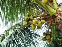 Sto presentando una foto del cocco verde Fotografie Stock Libere da Diritti