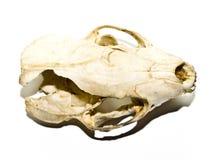 Stoat在白色背景的狡猾的人头骨 库存图片