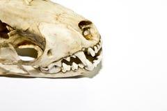 Stoat在白色背景的狡猾的人头骨 免版税库存图片