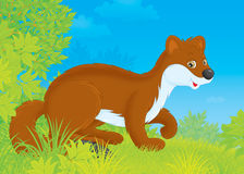 Stoat Stock Image