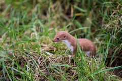 Stoat Royalty Free Stock Photo