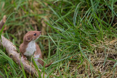 Stoat Stock Images