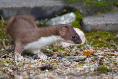 stoat Lizenzfreie Stockfotos