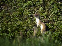 Stoat or ermine Stock Photo