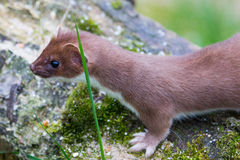 Stoat on a fallen branch Royalty Free Stock Photos