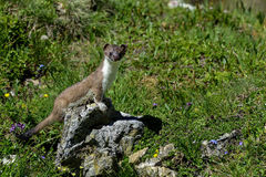 Stoat at grossglockner Royalty Free Stock Image