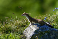 Stoat at grossglockner Royalty Free Stock Images