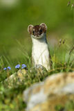 Stoat at grossglockner Royalty Free Stock Photo