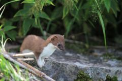 Stoat Stock Photography